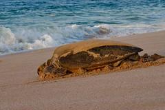 retuning back (chireeco) Tags: camera beach nikon body turtle egg eggs fullframe fx oman greenturtle turtlebeach sultanateofoman sharqiya nikond700 alsharqiya rasalginz