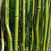 Bamboo in Davis Johnson Park, Bergen County NJ (7a)