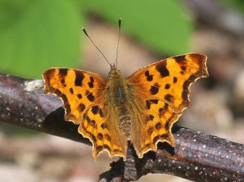 Comma - butterfly