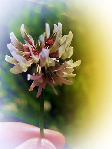 blomma, klöver, tur, turblomma