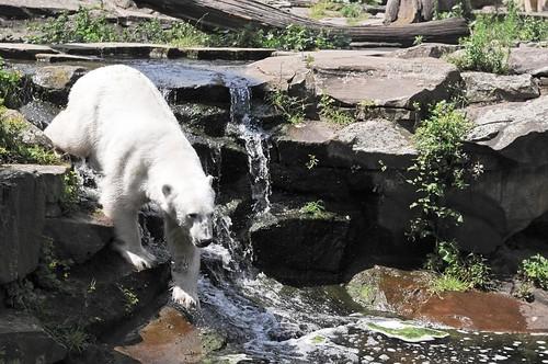 Berliner Zoo 2009 - Knut