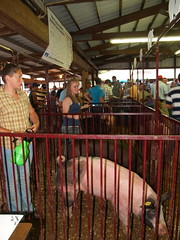 portage.09.hog.show.2 (Farm and Dairy) Tags: county ohio champion reserve grand portage countyfair hog 4h ravenna holstein randolph ayrshire ffa portagecounty randolphfair