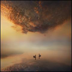 Dawn calmness (adrians_art) Tags: morning sky cloud mist reflection birds fog sunrise dawn early muteswans