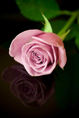 pink rose and reflection