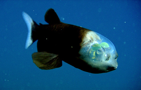 tansparent headed pacific barreleye fish