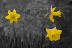Selective Daffodils (Says Whom) Tags: sony alpha selectivecoloring a350