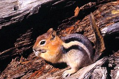 Golden-Mantled Ground Squirrel (birding4ever) Tags: 5 goldenmantledgroundsquirrel spermophiluslateralis