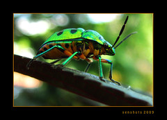 Jewel Beetle (SenShots / Senthilmani's Photography) Tags: orange black macro green nature leaves yellow canon photography interestingness interesting eyes colorful published dof beetle insects bugs explore works ng printed 2009 closer nationalgeographic flickrexplore explored jewelbeetle dailydozen nationalgeography yourshot senshots armsenthil senthilmani senshotsphotography