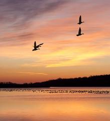 Geese at sunrise (buddy4344) Tags: birds wildlife middlecreek snowgeese