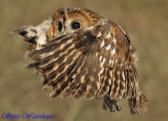 TAWNY OWL  '' (spw6156) Tags: copyright lens hand steve iso 400 owl hunter mm 500 held raptors waterhouse tawny cloaked awesomeshot avianexcellence excapture theperfectphotographer goldstaraward spw6156 stevewaterhouse copyrightstevewaterhouse natureshotsonflickr