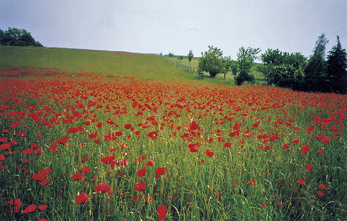 Loire valley poppy field 1