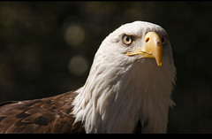 Eagle // guila calva americana (davic) Tags: madrid white david zoo aquarium eagle head sony blanca cabeza americana tamron aguila cornejo davic haliaeetus leucocephalus calva a700 200400mm ltytr1 tamronaf200400mmf56ldif feliz2009 davidcornejo albumextrafilm