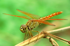 """A common dragonfly... • <a style=""""font-size:0.8em;"""" href=""""http://www.flickr.com/photos/41711332@N00/3395474436/"""" target=""""_blank"""">View on Flickr</a>"""
