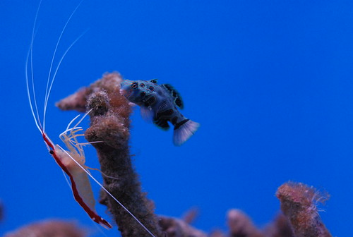 Pacific cleaner shrimp and mandarin dragonet