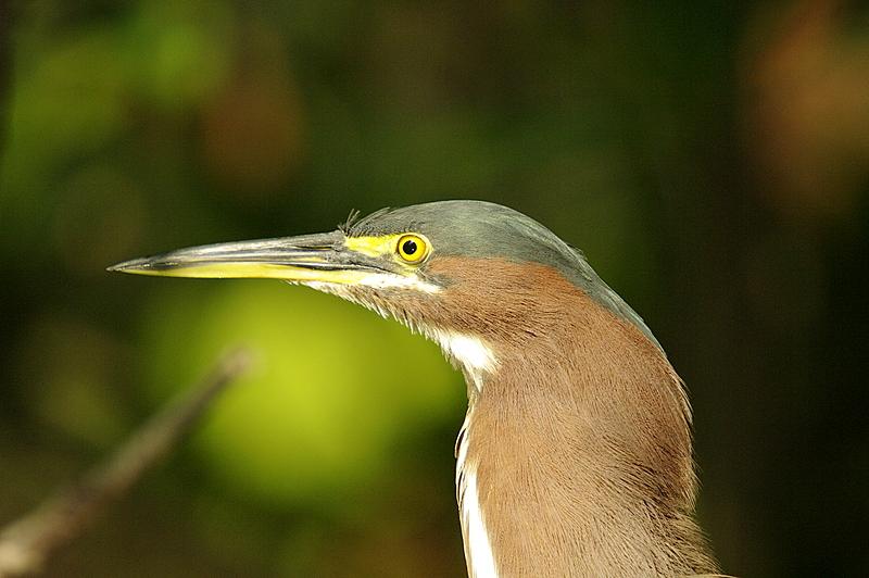 Green Heron Head