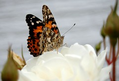 painted_lady_white_rose
