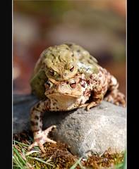 toads (KatharinaJeger) Tags: spring couple paar toads toad frhling paddock copulation krten krte crapaud begattung accouplement specanimal worldbest aplusphoto