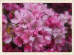 Apple Blossom Time (Andrea Kollo Photography) Tags: flowers toronto ontario flower macro nature gardens garden utata softfocus whatilove fff appleblossom appleblossoms gardentour gardentours goldstaraward thegoldenflower freeflickerflowers andreakollo springhillphotography flickartist