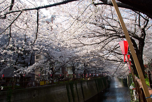 Sakura in Naka Meguro 07