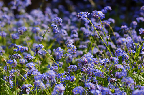 TWiP Spring 17 04 09 Blue Flowers by StuartWebster.