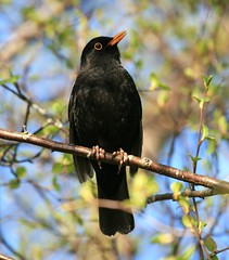 Blackbird (Chris*Bolton) Tags: tree bird nature perch soe blackbird avian birdwatcher blueribbonwinner otw supershot ar1 bej golddragon abigfave platinumphoto anawesomeshot impressedbeauty ultimateshot avianexcellence diamondclassphotographer citrit theunforgettablepictures naturewatcher theperfectphotographer goldstaraward natureselegantshots allkindsofbeauty vosplusbellesphotos