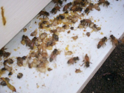 larvae outside the hive