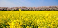 (lissajous) Tags: pink flower floral field yellow japan spring flora blossoms rape  mustard sakura cherryblossoms jpg 2009 gongendo k10d