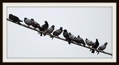 famiglia piccioni (Antonio clic) Tags: sardegna fauna canon reflex sardinia ali uccelli volo ala birdwatching avifauna stagno piume puzzones