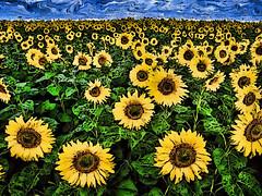 sunflowerfield (Lpersonified) Tags: holland sunflower vangogh hdr highdynamicrange hdri topaz topazadjust vojtechprchlik