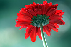 red&green (paolo brunetti) Tags: light red summer flower macro verde green port garden spring tan may gerbera tuscany toscana fiore rosso livorno 2009 maggio giardino naturesfinest mywinners paololivorno vosplusbellesphotos