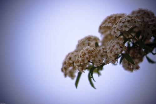 14766 : Peine -Spiraea cantoniensis#1-