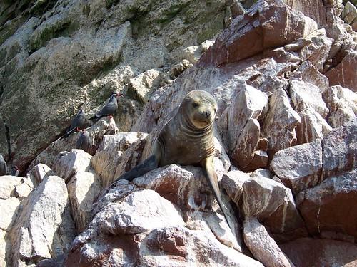 Islas Ballestas - poor man's Galapagos