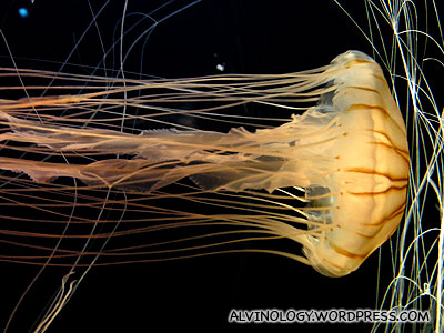 A very beautiful jellyfish