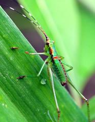 Immature Katydid - Tettigonioidea (jwinfred) Tags: macro nature mississippi nikon insects delta immature tamron 90mm katydid greenville d300 tettigonioidea