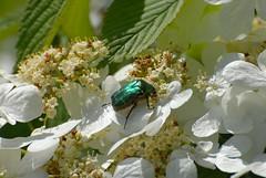 Cétoine dorée (Chris Vees (priorité maison)) Tags: flower nature fleur insect insecte cetoniaaurata cétoinedorée coléoptère