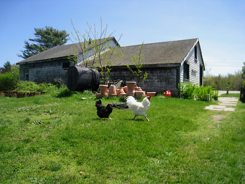 chickens at Snug Harbor Farm