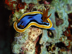 Nudibranch (prssrp) Tags: travel indonesia scuba diving nudibranch wakatobi 2009 chromodorisannae southeastsulawesi