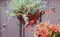 Lavender Merry-go-round (burningviolin) Tags: geranium frenchlavender lessergoldfinch carduelispsaltria migratorybirds