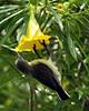 Purple Sunbird (Female) - Nectarinia asiatica (- Ariful H Bhuiyan -) Tags: bird female safari ttl soe sunbird pruple purplesunbird rajshahi pakhi nawabganj chapai passarine moutushi beguni ttlsafari ttlsafari6
