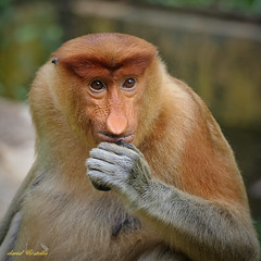 "Proboscis Monkey {The lady says...""By George, he's back! Isn't he the photgrapher who fell into the river?""} (1davidstella) Tags: world nature live we kotakinabalu 70300 the naturesfinest proboscismonkey"