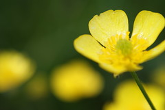 buttercup bokeh (Alan Wrights) Tags: blur flower macro green yellow flora buttercup bokeh