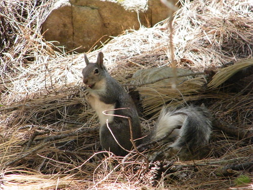 Squirrel at Mt. Lemmon