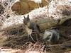Squirrel at Mt. Lemmon
