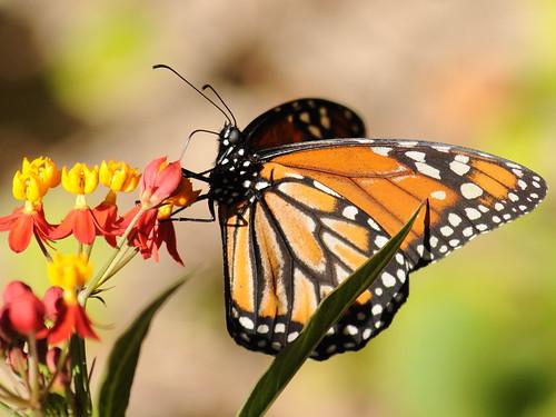 monarca (Danaus plexippus)