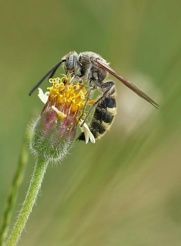 11.8 Digger Wasp