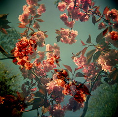 the joy of doubles (microabi) Tags: pink flowers blue trees sky up look holga spring brighton fuji blossom superia branches