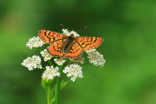 Mariposa - Euphydryas aurinia