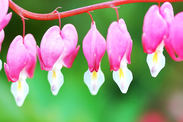 Close-up of five bleeding heart flowers; bright pink on a green background
