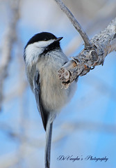 Chick Profile (DeVaughnSquire) Tags: bird nature searchthebest wildlife chickadee eyecatchers blueribbonwinner supershot golddragon platinumphoto citrit theunforgettablepictures goldstaraward planetearthanimalsbirds