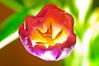 55/365 Tulip
